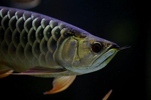 A, Asian Use, Dragon And, Fish, Tropical Fish, Aquarium