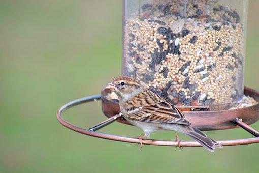 Bird, Nature, Wildlife, Songbird, Finch, Avian, Purple