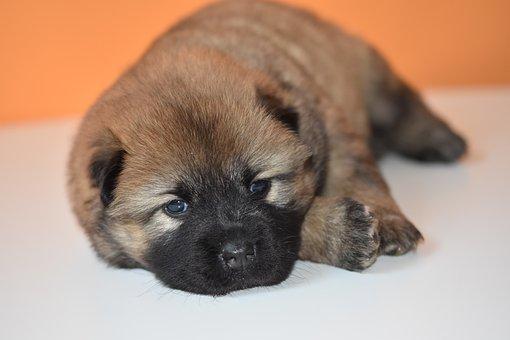 Puppy, Dog, Bitch, Young Puppy, Eurasier Puppy