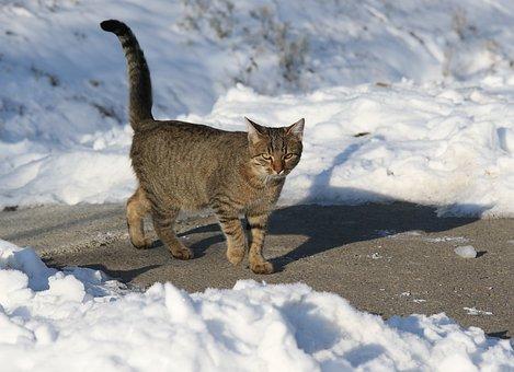 Cat, Snow, Gray, Hunting, Pet, Fur