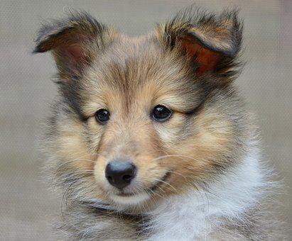 Dog, Dog Shetland Sheepdog, Pup, Puppy, Dog Toby