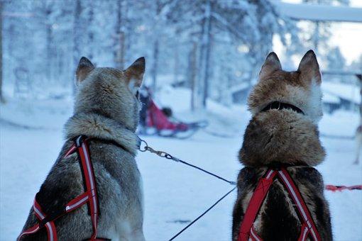 Lapland, Husky, Para, Dogs, Pimp My Sleigh, Snow