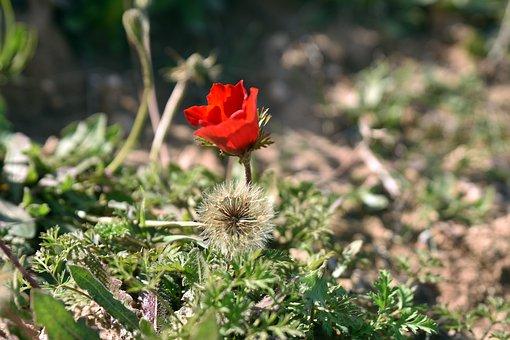 Flower, Nature, Poppy, Flora, Leaf, Husk, Growth, Petal
