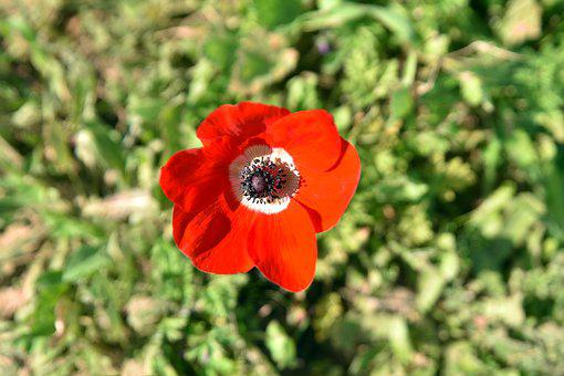 Flower, Nature, Poppy, Flora, Leaf, Husk, Growth, Petal