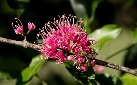 Pink Euodia, Melicope Elleryana, Tree, Blossom, Flowers