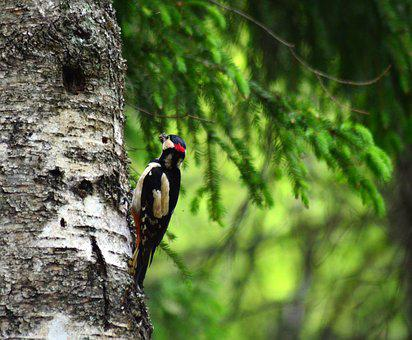 Woodpecker, Forest, Nature, The Birds, Animals