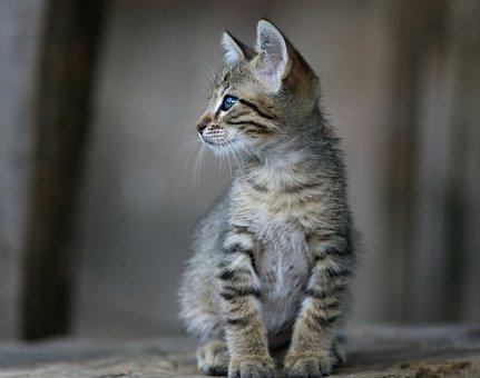 Cat, Gray, Small, Funny, Cute