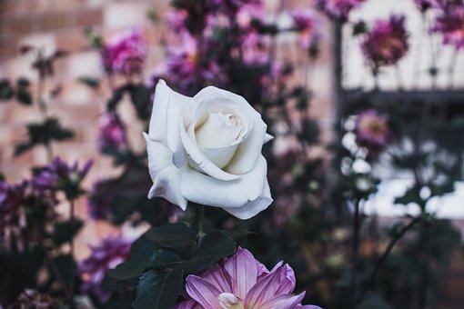 Rosales, Flower, Pink, Nature, White, Garden, Bloom