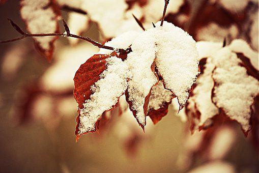 Snow, Hoarfrost, Leaf, Foliage, Wintry, Winter, Cold