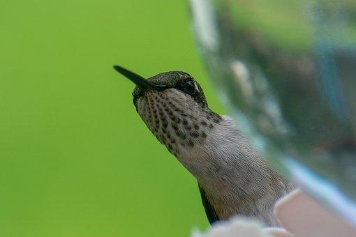 Bird, Nature, Hummingbird, Green, Wildlife, Wing