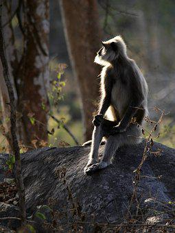 Gray Langur, Primate, Langur, Hanuman, Macaque
