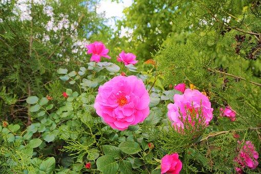 Rose, Pink Roses, Greens, Tree, Rosewood, Leaves