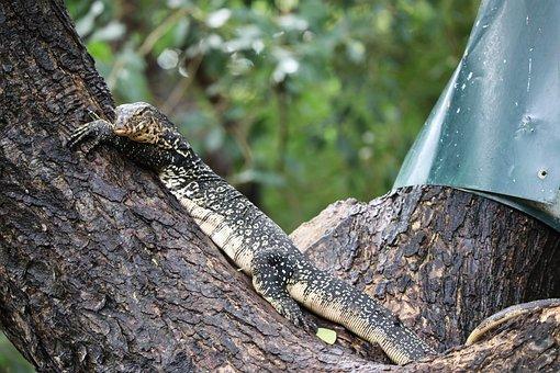 Lizard, Tree, Monitor Lizard, Reptile, Resting