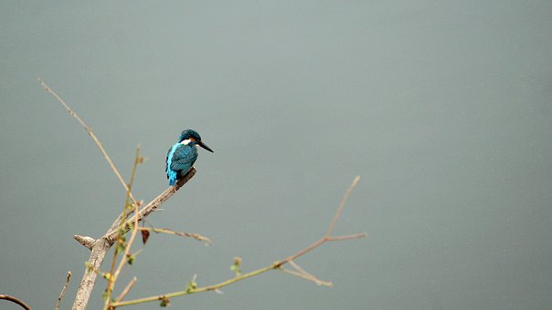 Common Kingfisher, Kerala, India, Bird, Avian, Nature