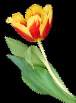 Flowers, Tulips, Flower, Garden, Spring, Nature, Tulip