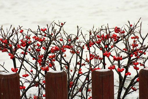 Bush, Winter, Snow, Nature, Shrubs, Red Balls, Fencing