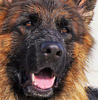 Dog, German Shepherd, Old German Shepherd Dog