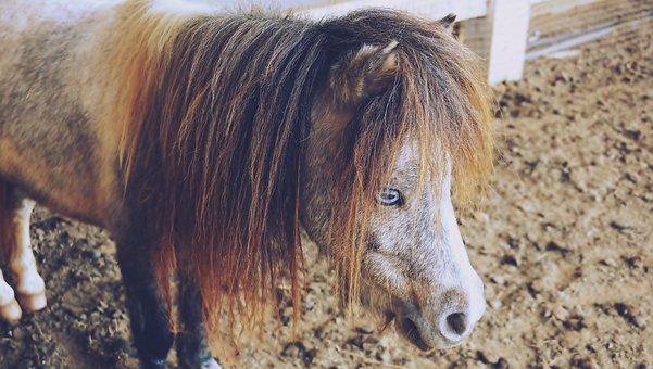 Horses, Pony, Animals, Small, Dwarf, Humor