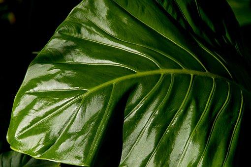 Leaf, Green, Rain Forest, Wild, Wet, Rain, Native Lily