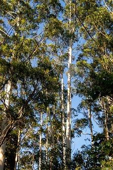 Gum Trees, Eucalyptus, Grandis, Trees, Rainforest