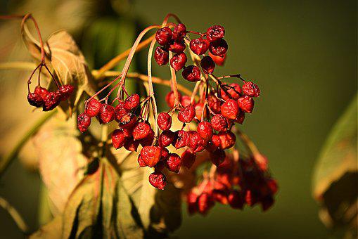 Red Berry, Fruit, Food, Fresh, Plant, Nature