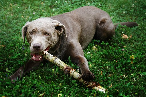 Dog, Meadow, Branch, Retrieve, Spring, Dog Head