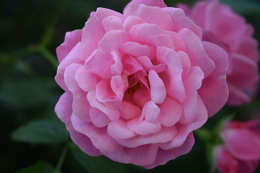 Rose, Nature, Flower, Love, Plant, Macro, Red, Petals