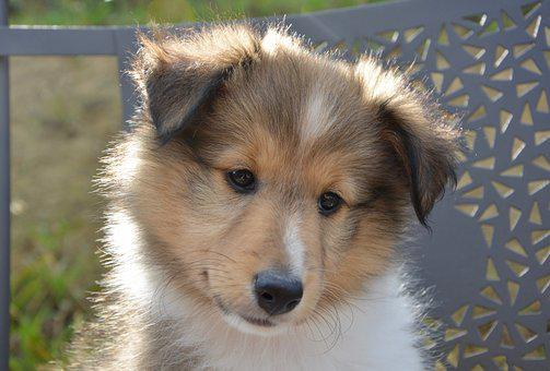 Dog, Bitch, Shetland Sheepdog Oubie