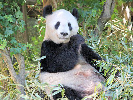 Panda, Sitting, Bamboo, Food, Zoo, The Giant Panda
