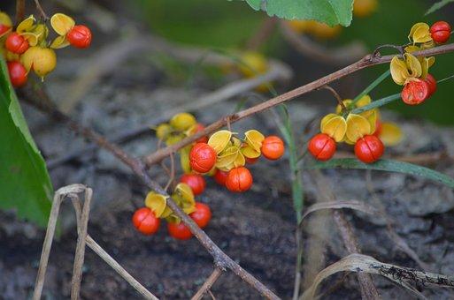 Red, Berries, Nature, Natural, Woods, Tree, Brush