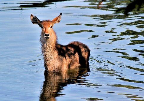 The Antelope, Waterbuck, Africa, Water, Wet, Bath