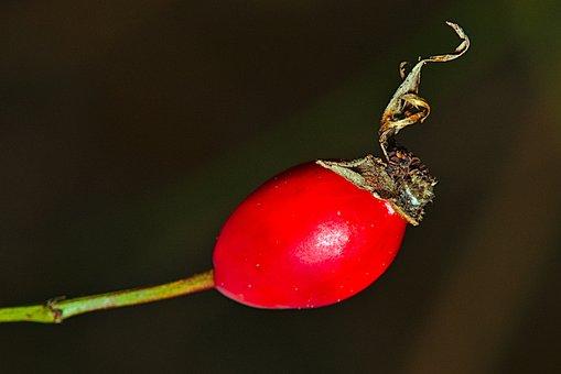 Rose Hip, Winter, Close Up, Fruit