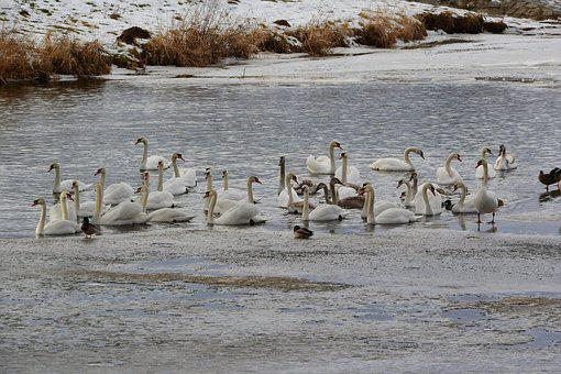 Swans On The Winter River, Winter River