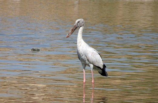 Bird, Stork, Asian Openbill, Anastomus Oscitans, Wader