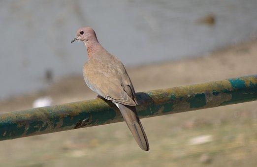 Bird, Dove, Laughing Dove, Little Brown Dove, Fauna