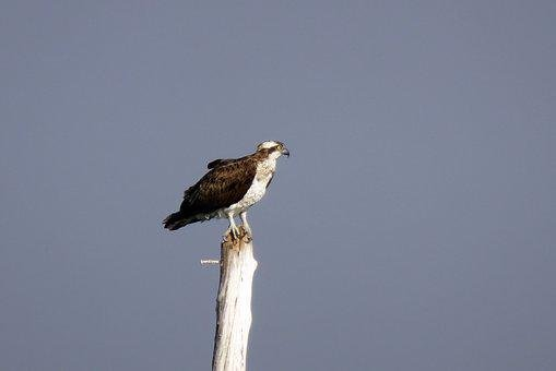 Bird, Osprey, Western Osprey, Pandion Haliaetus