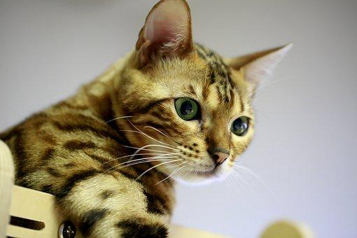 Bengal, Cat, Pets, Bengal Cat, Baby Cats, Cat Photo