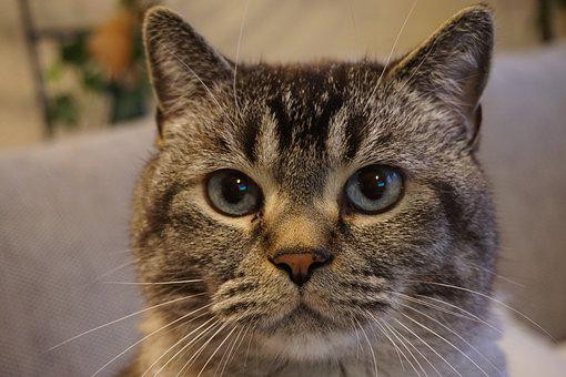 Cat, Cat Face, Pet, Cat's Eyes, Animal, Animal World