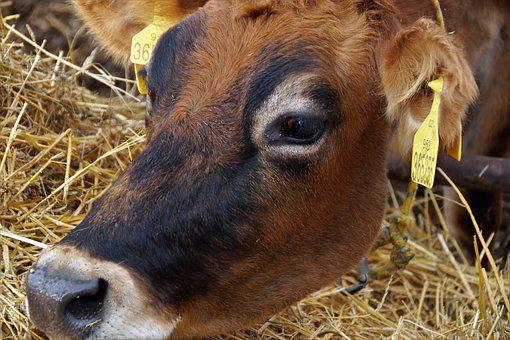 Cow, Dairy Cow, Economic, Animal, Farm, Agriculture