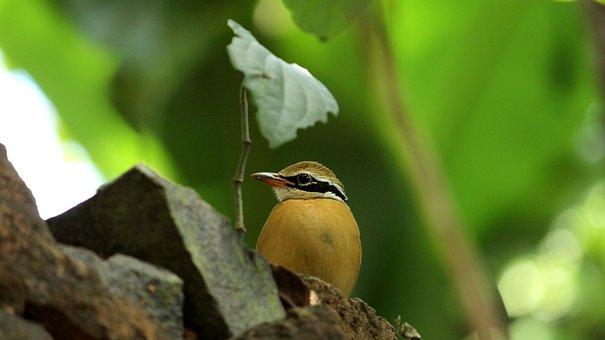 Indian Pitta, Bird, Avian, India, Exotic, Cute