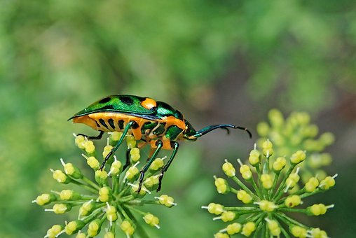Insect, Jewel Beetle, Garden, Plant, Nature