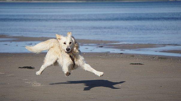 Dog, Golden Retriever, Pet, Animal, Dear, Good, Beach