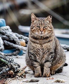 Cat, Malai, Animal, Feline, Kitten, Gray, Mammal