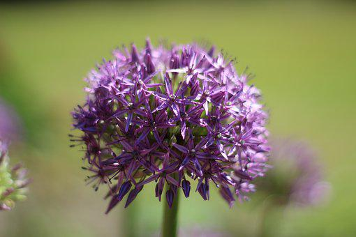 Allium, Blossom, Bloom, Purple, Garden, Plant, Nature
