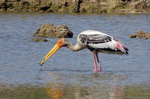 Bird, Stork, Painted Stork, Mycteria Leucocephala