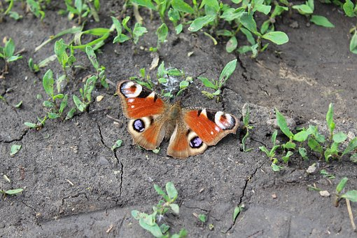 Butterfly, Soil, Peacock, Wings, Insect, Nature, Summer