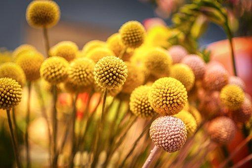 Flower, Ball, Plant, Blossom, Bloom, Garden, Ranunculus