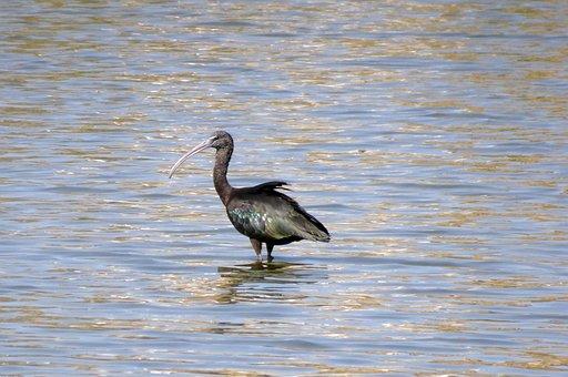 Bird, Glossy Ibis, Wader, Plegadis Falcinellus