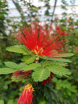 Calliandra Tweedii, Powder Puff Shrub, Red, Brazilian