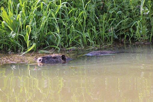 River Rat, Coypu, Animal, Swamp, Rodent, Water, Nature